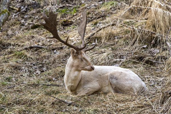 Albino buck cervo foresta parco protezione Foto d'archivio © kb-photodesign