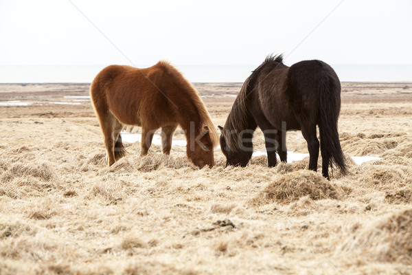 Two Icelandic horses on a meadow in spring Stock photo © kb-photodesign
