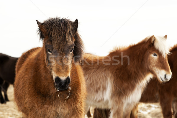 Portrait of an Icelandic pony with a brown mane Stock photo © kb-photodesign