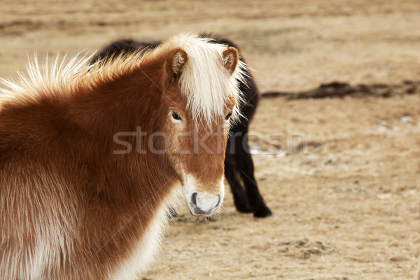 Portrait of an Icelandic pony with blonde mane Stock photo © kb-photodesign