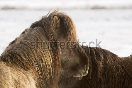 Brown Icelandic horse on a meadow Stock photo © kb-photodesign
