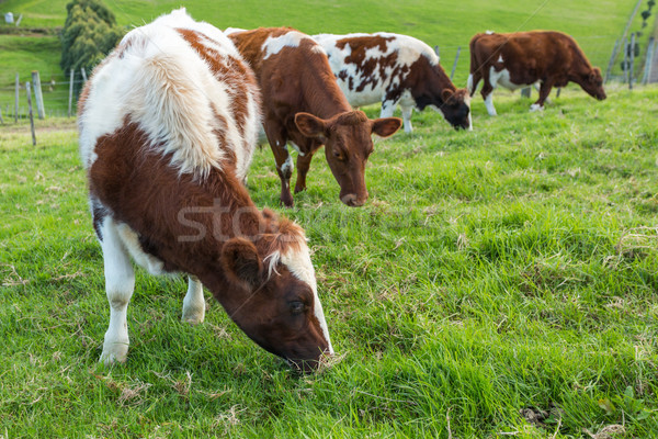 Cows Eating Grass Stock photo © keeweeboy