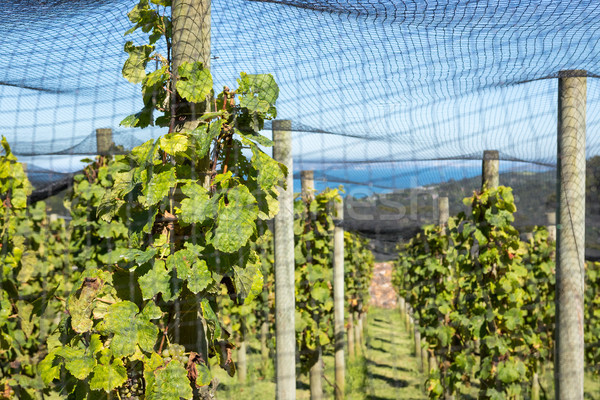 Grapes Vines Under Nets Stock photo © keeweeboy