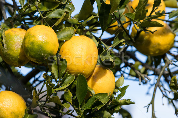 Lemons on Tree Stock photo © keeweeboy
