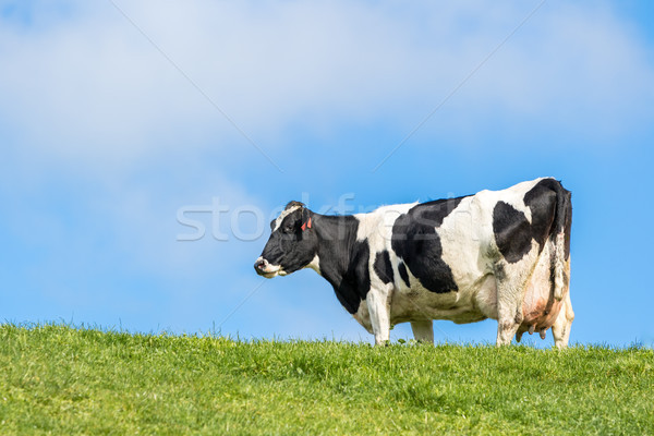 Pregnant Cow Stock photo © keeweeboy