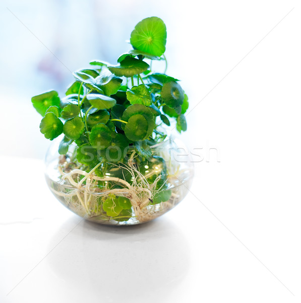 hydroculture plant on glass Stock photo © keko64