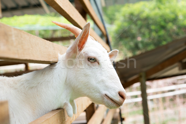 Photo stock: Chèvre · ferme · blanche · yeux · lait