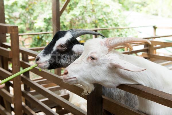 Kecskék farm közelkép etetés szemek portré Stock fotó © kenishirotie