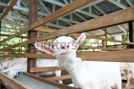 Goats in farm Stock photo © kenishirotie