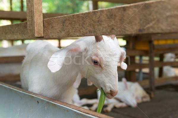 Cabra granja blanco comer hierba Foto stock © kenishirotie