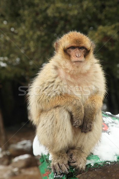 Barbary Ape Stock photo © kentoh