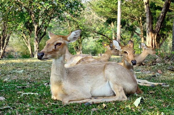 Antelope Stock photo © Kheat