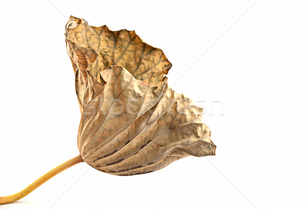 dry leafs lotus isolated on a white Stock photo © Kheat