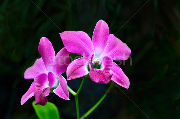 Orchidea fekete narancs piros trópusi rózsaszín Stock fotó © Kheat