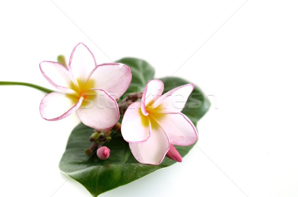 Plumeria flowers and leaf  isolated on white Stock photo © Kheat