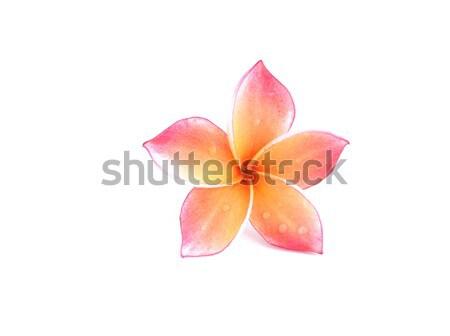 Plumeria flowers   Stock photo © Kheat
