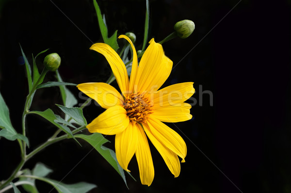 Mexican sunflower weed Stock photo © Kheat