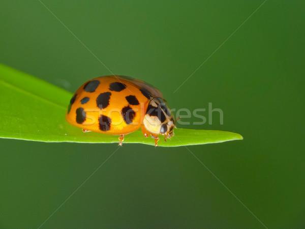 Uğur böceği çim yalıtılmış yeşil bahar bahçe Stok fotoğraf © Kidza