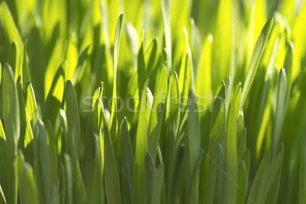 Organic Wheatgrass  Stock photo © Kidza
