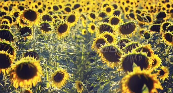 подсолнечника области подсолнухи лист фон Сток-фото © Kidza