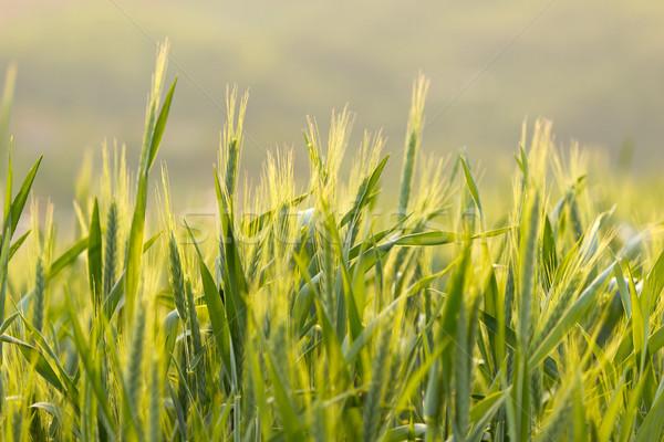 árpa mezők szép tavasz nap étel Stock fotó © Kidza