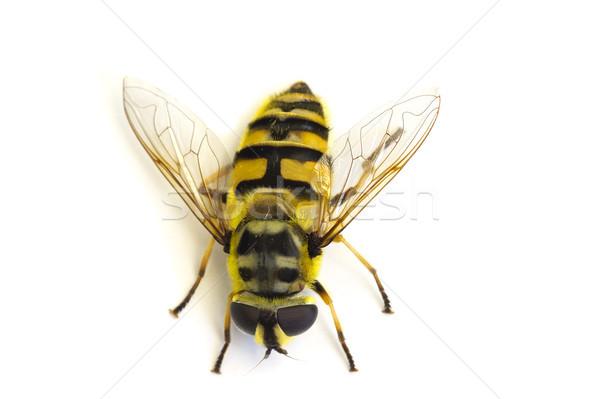 縞模様の フライ 動物 色 黄色 バグ ストックフォト © Kidza