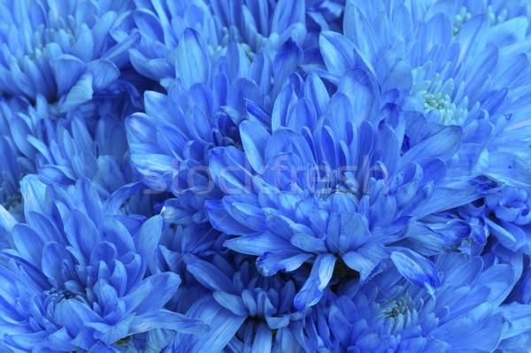 Mavi krizantem çiçek bahçe arka plan güzel Stok fotoğraf © Kidza