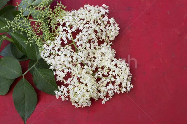 Mayor flor flores rojo verde blanco Foto stock © Kidza