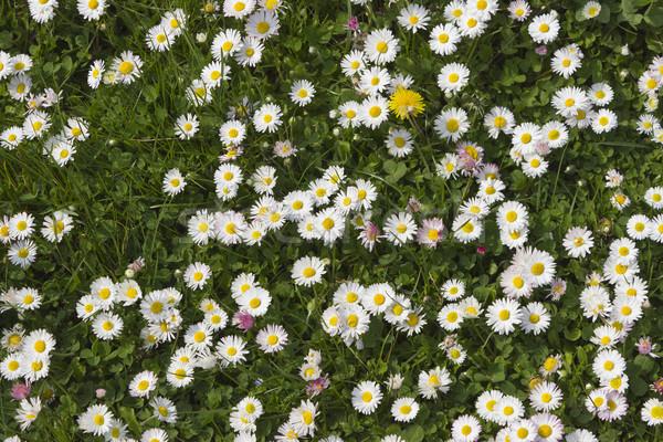 Kwiaty piękna stokrotki dziedzinie wiosną świetle Zdjęcia stock © Kidza