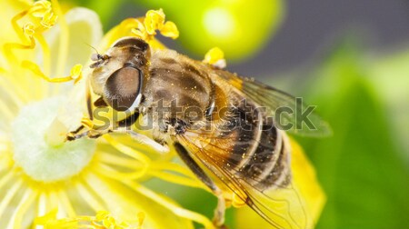 Bee Stock photo © Kidza