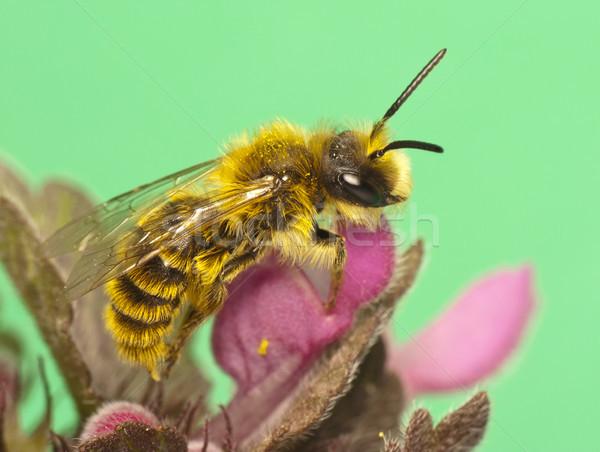 Méh virágok tavasz méz rovar antenna Stock fotó © Kidza