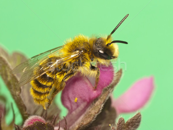 Abelha flores primavera mel inseto antena Foto stock © Kidza