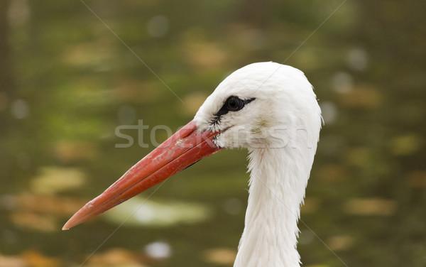 Gólya portré baba madár toll piros Stock fotó © Kidza