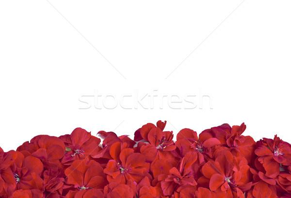 Banner mooie rode bloemen ontwerp frame Stockfoto © Kidza