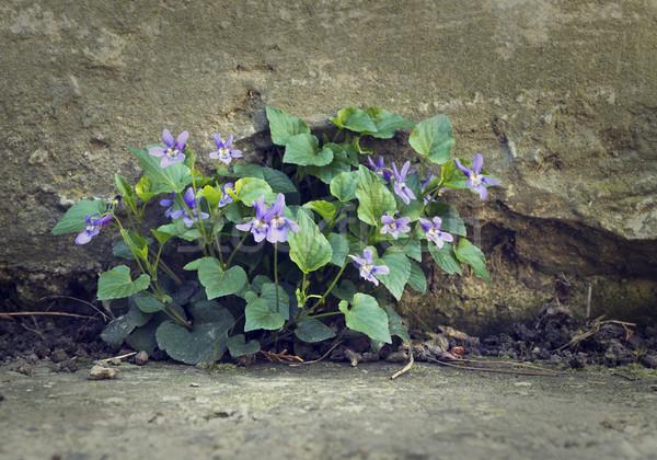 Flower and concrete Stock photo © Kidza