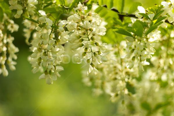 Acacia flower Stock photo © Kidza