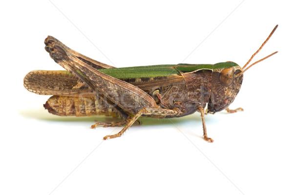グラスホッパー 白 緑 脚 昆虫 バグ ストックフォト © Kidza