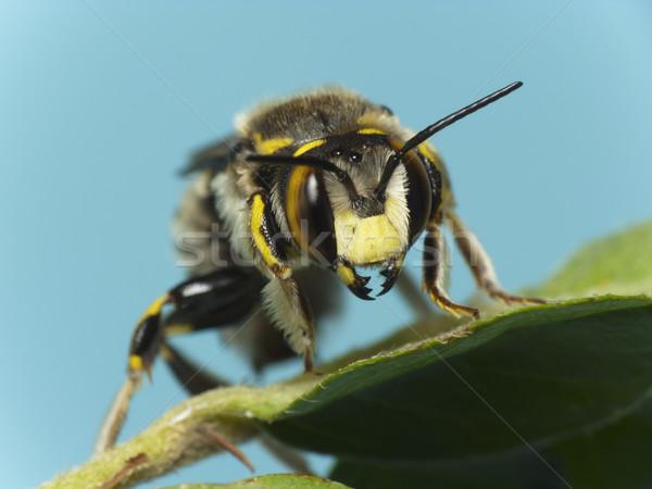 Bee (Anthidium sp.) Stock photo © Kidza