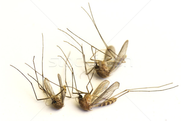 Dead mosquitoes Stock photo © Kidza