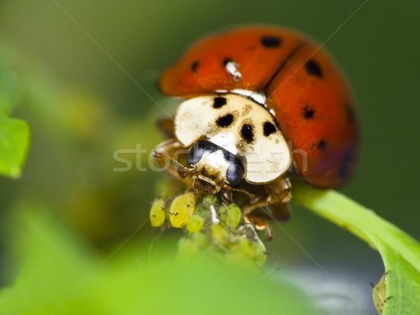 Uğur böceği doğal yaprak bahçe böcek Stok fotoğraf © Kidza