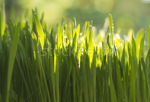 Dorosły trawy pszenicznej świeże zielone pszenicy Zdjęcia stock © Kidza