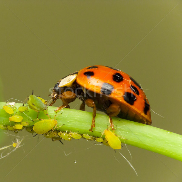 Ladybird attack aphids Stock photo © Kidza