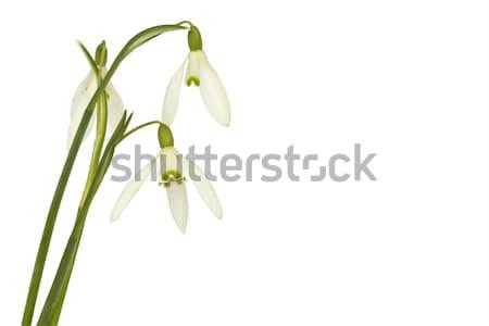 Odizolowany biały wiosną Wielkanoc liści tle Zdjęcia stock © Kidza