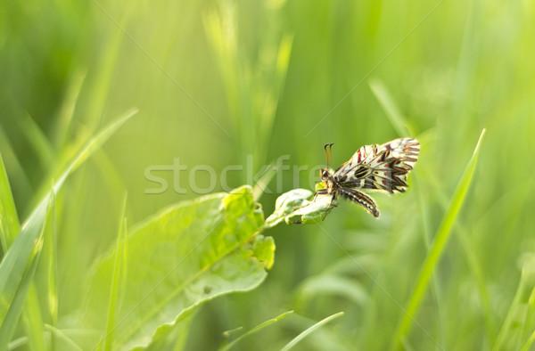 Motyl piękna zielona trawa trawy tle Zdjęcia stock © Kidza