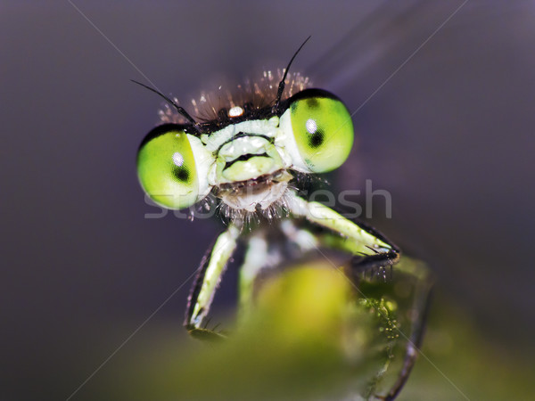 Damselfly Stock photo © Kidza