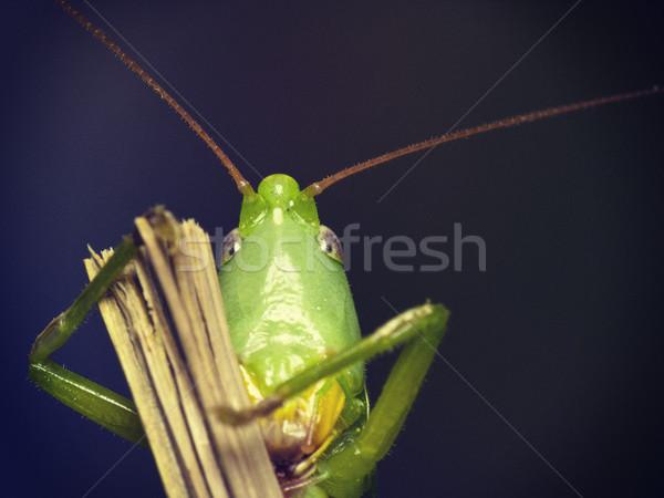 緑 グラスホッパー 見 カメラ 肖像 背景 ストックフォト © Kidza