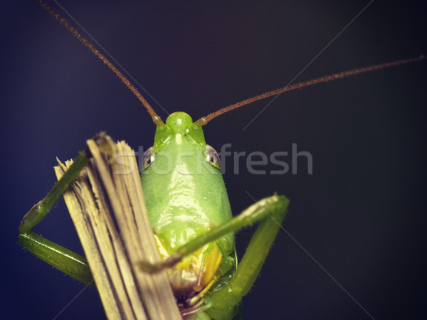 Yeşil çekirge bakmak kamera portre arka plan Stok fotoğraf © Kidza