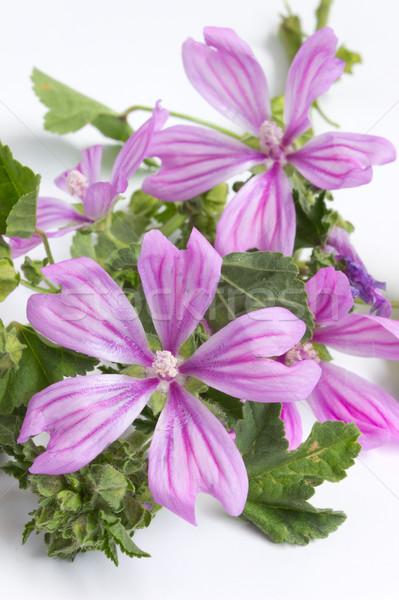 Kır çiçeği bitki beyaz çiçek yaprak Stok fotoğraf © Kidza