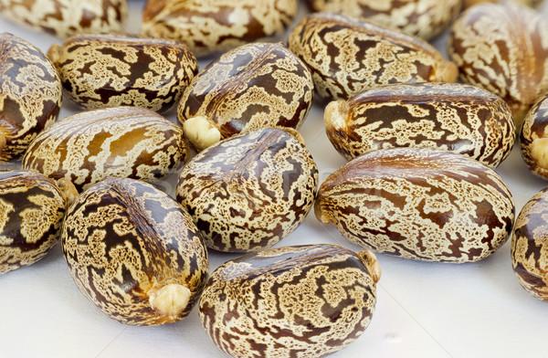 Castor oil seeds Stock photo © Kidza