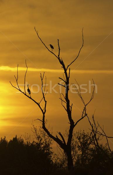 Naplemente sziluett madarak fa égbolt gyönyörű Stock fotó © Kidza